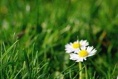 [フリー画像] [花/フラワー] [ヒナギク/デイジー] [ホワイト/花] [緑色/グリーン]       [フリー素材]