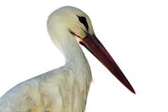 Piquito (Rob Unreall) Tags: animal fauna nikon rob pico animalplanet stork cigüeña d300 unreall