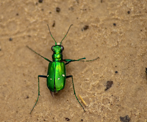 Armand Bayou - Punctured Tiger Beetle (Cicindela punctulata)