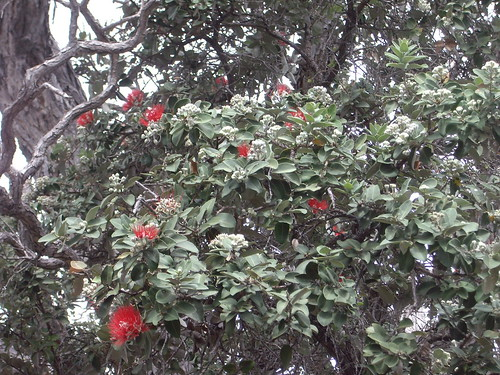 LEHUA BLOSSOMS ON OHIA TREE