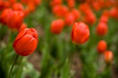 two lips. (dianne [moonbend]) Tags: red plant flower green nature garden petals bokeh arboretum 50mm14 tulip kansas 365 arb bartlettarboretum belleplaine project365 41809 105365 365april