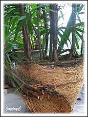 Step 1: Propagating Rhapis excelsa or Lady Palm, April 2 2009 at our backyard. Broken pot removed