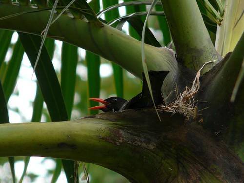 Nesting Black Bulbul (Hypsipetes leucocephalus) - 紅嘴黑鵯