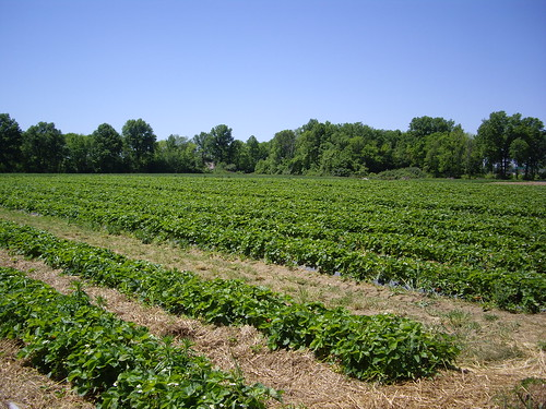 Strawberry Patch at Hann Farms