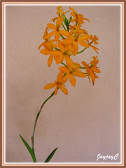 An orange Epidendrum x obrienianum (O'brien's Star Orchid). This was shot on the 40th day of flowering