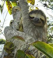 perezoso de Pacaya Samiria - Peru