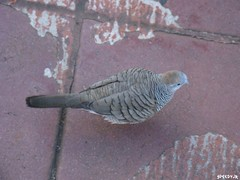 Zebra Dove - Hawaii by SpeedyJR (SpeedyJR) Tags: nature birds hawaii wildlife pearlharbor honolulu doves honoluluhawaii speedyjr