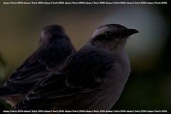 Sabiá-do-Campo (Johanes Duarte 2013) Tags: birds aves nocrop pássaros casadadinha chalkbrowedmockingbird mimussaturninus sabiádocampo calandriacomún canonmarkiin1d