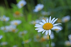 ~~Simple Pleasures~~ (mikenpo) Tags: flower green field daisies canon gold dof mikenpo