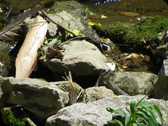 Dickerson Park Zoo - Springfield, Missouri (Adventurer Dustin Holmes) Tags: zoo serpent ilan ular animalia nab schlange madu zoos suge ejo serpiente ula  serpente ylan reptilia serp anguis krme nathair chordata serpentes  dickersonparkzoo ophidia w squamata   gyvat serpento neidr kgy ahas    zmija nyoka  kaa     ska    gjarpr carnivorousreptile conrn  koulv    carnivorousreptiles  arpe agw    nakahi