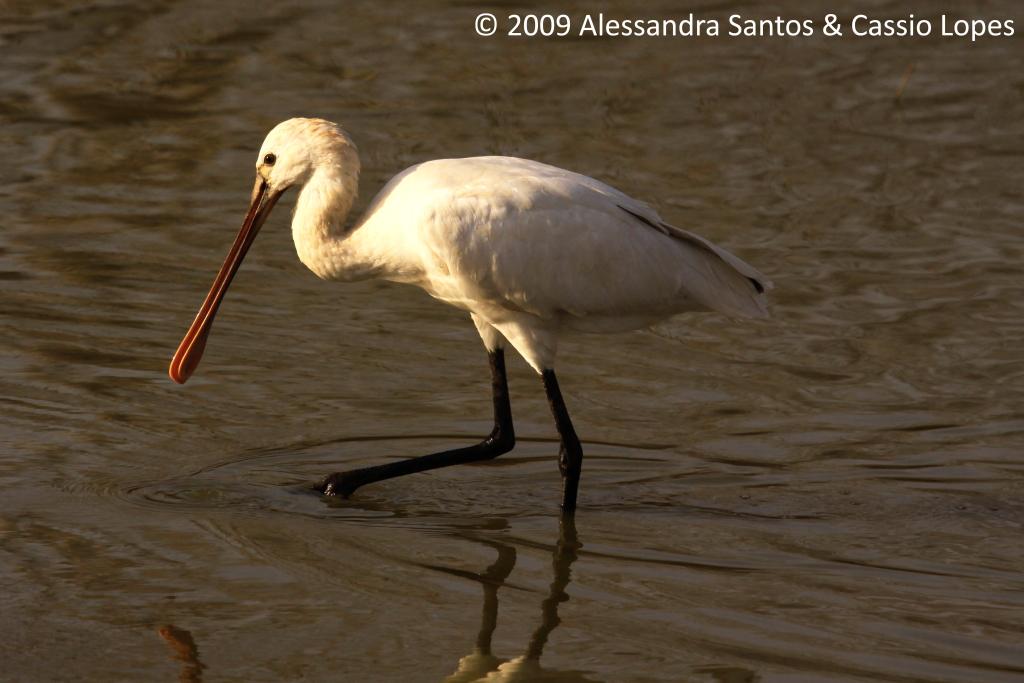 Spoonbill Stork _MG_2693_F