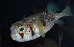 Nice to Meet You (Atilla2008) Tags: ocean pink sea fish coral dark cool underwater beak exotic friendly tropical puffer spines reef current fins inquisitive fishy barrierreef