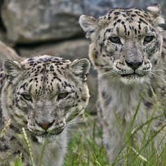 Snow Leopards (Gary Wilson แกรี่ วิลสัน) Tags: ireland dublin snow nature animal cat canon mammal eos zoo big wildlife leopard bigcat panther snowleopard 500d dublinzoo