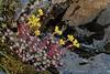 Sedum spathulifolium (Pacific Sedum) (birdgal5) Tags: california nikon d200 crassulaceae sedum placercounty sedumspathulifolium 105mmf28gvrmicro dutchflat pacificsedum nativeperennial drumpowerhouseroad