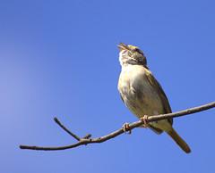 [フリー画像] [動物写真] [鳥類] [野鳥] [イナゴヒメドリ] [見上げる]      [フリー素材]