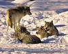 Timberwolves (Hal Trachtenberg) Tags: yourock babymomma pfogold fotocompetitionbronze vosplusbellesphotos yourockwinner yourock1st herowinner