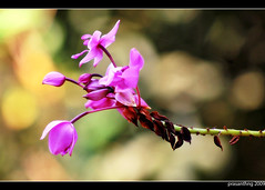 Ground Orchid (prasanthng) Tags: india bokeh kerala groundorchid spathoglottisplicata flowersofkerala mananthavady canoneos1000d prasanthng flowersofindiawayanad