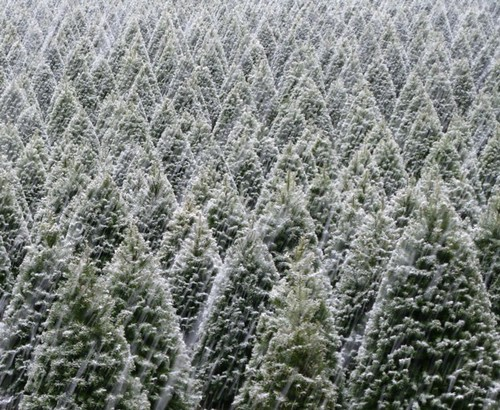 Light Snow Falling on Christmas Tree Farm