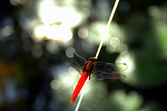 Dragonfly on a  Bokeh Wednesday (AgniMax) Tags: red macro nature canon dragonfly bokeh beautifulnature hbw canoneos400d eosrebelxti bokehwednesday vosplusbellesphotos