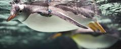 Captive,... (D3 Photography) Tags: city aquarium nikon sigma australia melbourne speedlight d3 50mmf14