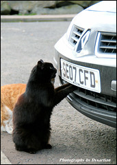 Excuse me, Does CFD Stand for Cat Food Delivery? (Dysartian) Tags: uk pet nature car cat blackcat scotland fife britain carpark curiosity numberplate funnycat kirkcaldy dysart kinghorn pettycur carregistration lolcat readingcat catreading pettycurharbour platinumheartaward creativecomments dysartian photographybydysartian amusingcat catreadingcarnumberplate