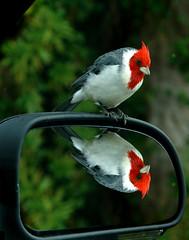 cardinal mirror (JimBoots) Tags: 1 batch potporri
