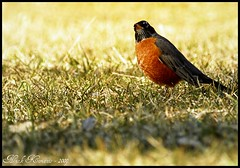 American Robin (/Sawyer/) Tags: bird robin closeup outside nikon tokina d200 nikkor 80200mm kenko nikond200 nikkor80200mm 2xtelepluspro300 nikoned