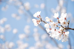 "Cherry blossom (""KIUKO"") Tags: pink blue flower  cherryblossom  naturesfinest denpark"