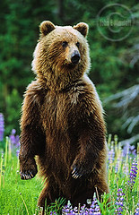 grz0778_standinggrizzly (John E Marriott) Tags: bear flowers trees canada field animal vertical standing forest mammal bc britishcolumbia wildlife young large meadow wildflowers grizzly predator northern lupine provincialpark ursusarctos silvertip arcticlupine omnivore
