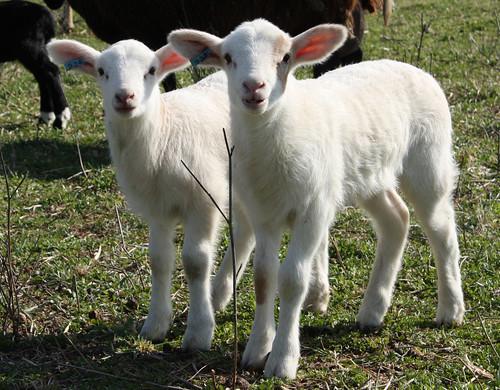 Twin ewe lambs