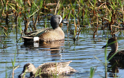 Blue-winged Teals - 3/16/2009