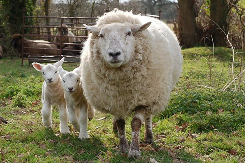 Buffy and lambs