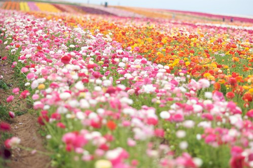 The Flower Fields ~ Carlsbad, CA