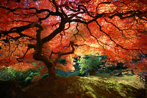Beautiful Japanese Maple by Krissy Aldous.com / Krissy A.