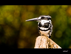 Pied Kingfisher (saternal) Tags: birds kingfisher pied ranganathittu piedkingfisher cerylerudis saternal