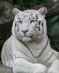 White Bengal Tiger (channerman) Tags: singapore tiger whitetiger singaporezoo