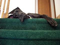 Guard dog (legallyglinda) Tags: dog stairs for great guard spot lazy dane comfy