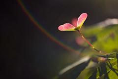 morning maple (hollyindavis) Tags: morning nature rainbows shuttersisters