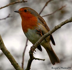 Its enough to make One see red! (Roger's Photos59) Tags: birds cornwall wildlife robins 1001nights fowlfeatheredfriends