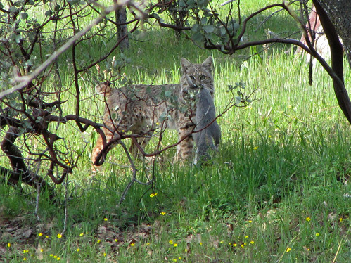 bobcat with gray squirrel