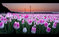 Sunrise over the Tulips 2 (Alex Verweij) Tags: orange sunrise canon landscape tulips sensational polder 1022mm flevoland oranje almere tulpen windmolen windmil windmolens 18april 40d abigfave alexverweij