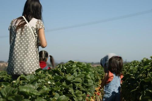 carlsbad Stroberry field