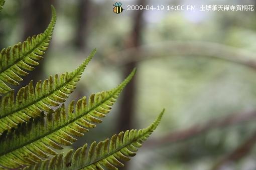 09.04.19 一探土城承天寺桐花花況 (15)