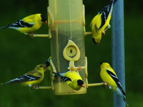 American Goldfinches all males-4-22-09 003