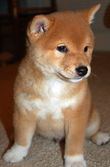 6wks 7 days (44) (Netsirksmada) Tags: red puppy photography adams nest mango kristen shiba perrito inu shibas