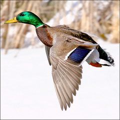 ~ Winter Pass ~ (ViaMoi) Tags: canada male canon fly flying duck colours action ottawa wing freeze mallard drake digitalcameraclub viamoi 100commentgroup