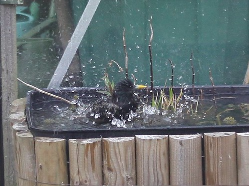 Starling Bath Time