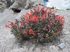 Falso poleo del yeso / False gypsum pennyroyal (Hedeoma ciliolata)