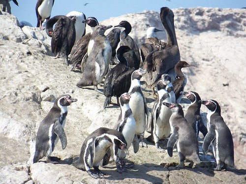 A cute group of penguins at Islas Ballestas!