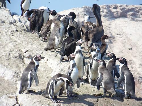 A cute group of penguins at Islas Ballestas!